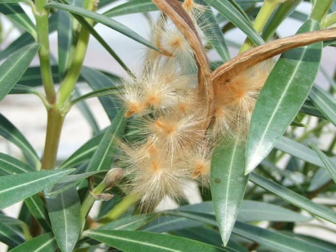 Семенное размножение олеандра используется достаточно редко