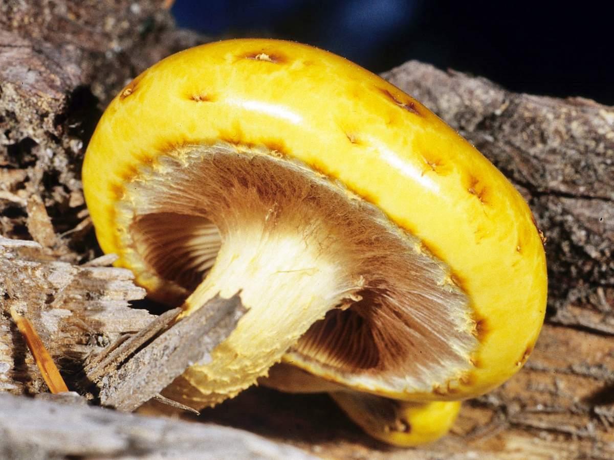 Чешуйчатка золотистая считается чрезвычайно полезной для организма человека