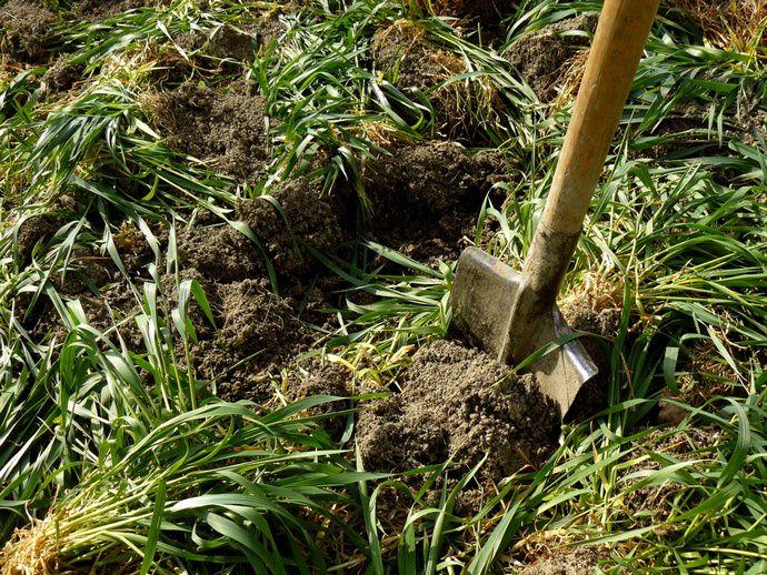 Сидеральные растения высаживаются на открытых участках земли и в качестве полезной смежной культуры