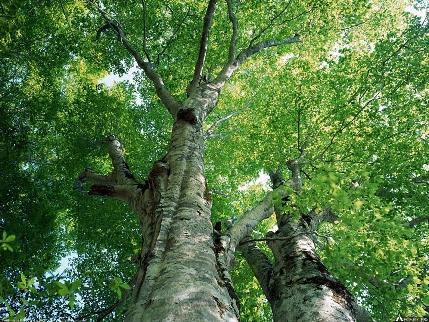 Осина – дикорастущее дерево средней высоты, которая может достигать 35 м