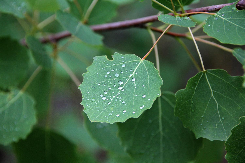 Листья осины собирают в мае или июне