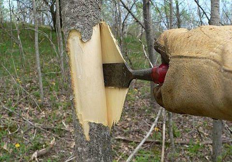 Отправляться в лес за корой осины нужно приблизительно с 20 апреля до 1 июня, потому что в этот период происходит активное движение сока