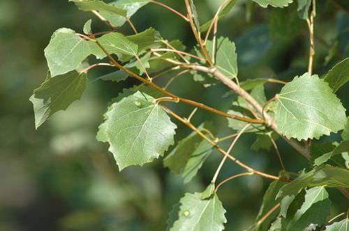 Осина – целебное дерево, способное помочь в нетрадиционном лечении некоторых заболеваний