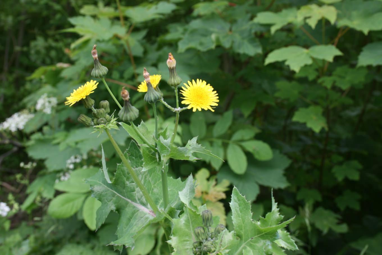 Осот является растением, которое может приспособиться и расти в самых различных условиях