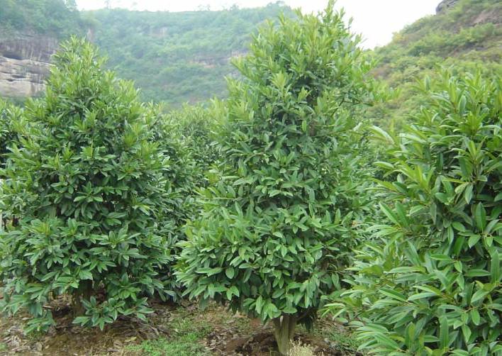 Парагвайский падуб – многолетний куст, листва которого не опадает круглый год