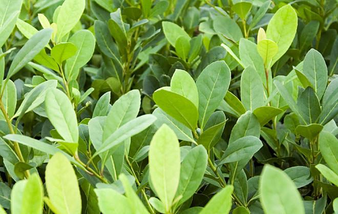 Листья парагвайского падуба содержат большое количество полезных веществ