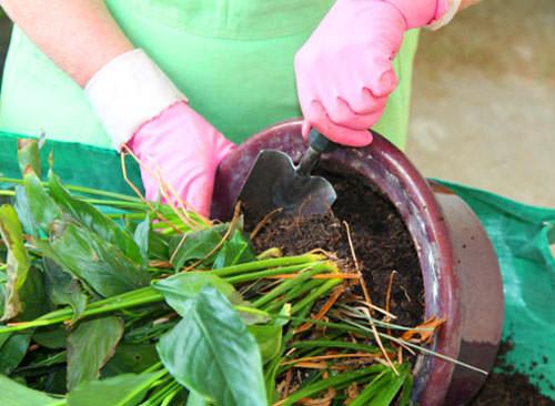 Пересадка антуриума является залогом получения красивого и обильно цветущего растения