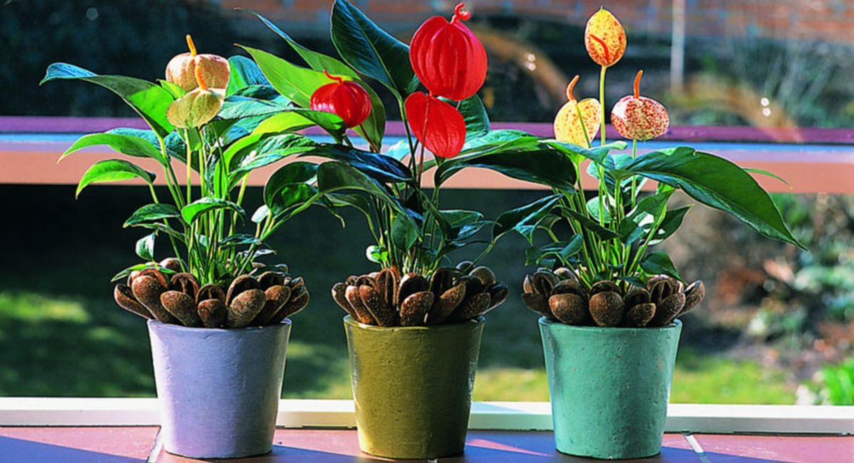 Пересаживание комнатного антуриума во время цветения является не таким уж сложным мероприятием