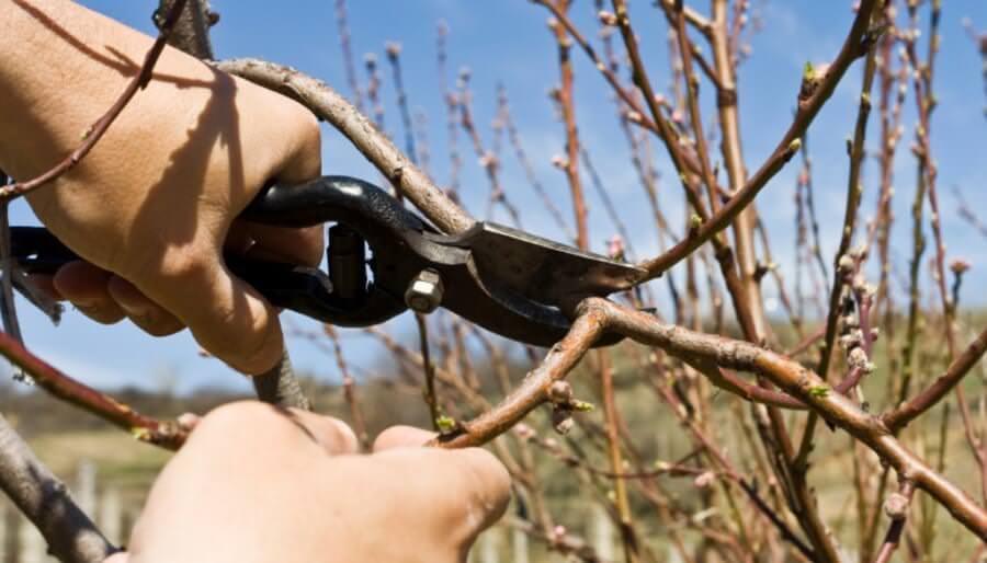 С помощью обрезки в осенний период персик подготавливается к зиме