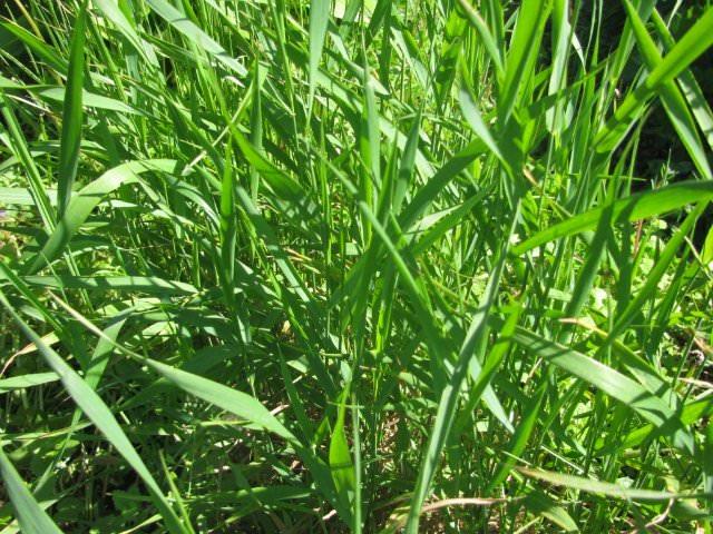 Выводить сорную растительность, представленную пыреем, достаточно сложно