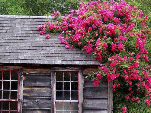 В приусадебном ландшафте всё чаще используются плетущиеся растения для сада