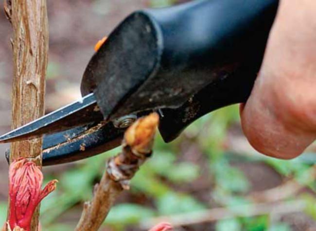 Хороший результат даёт осенняя низкая обрезка стеблей с листьями пионов, что помогает избежать развития грибковых поражений