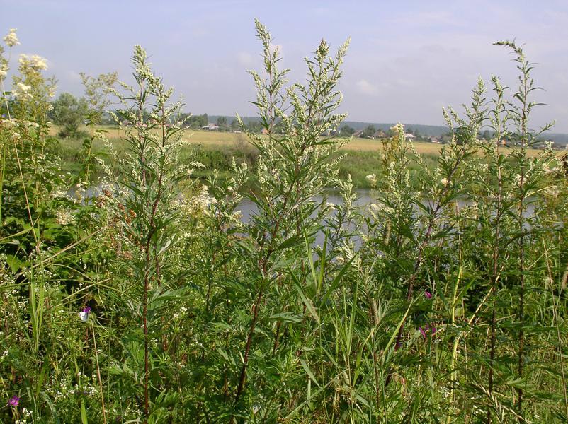 Полынь неприхотлива, считается сорняком, так как встречается везде