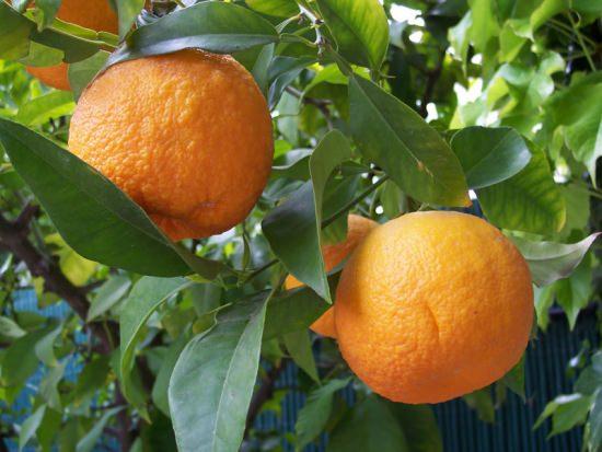 Горький апельсин многим известен как бигардия