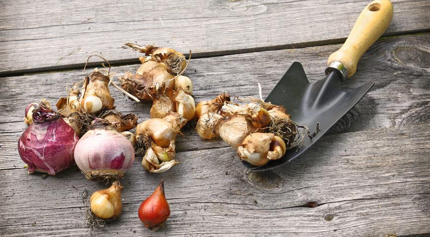 Для посадки рекомендуется выбирать исключительно здоровые и качественные луковицы