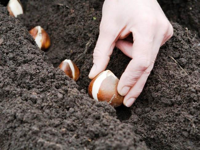 Примерно до середины октября – оптимальное время для высаживания гиацинтов и тюльпанов