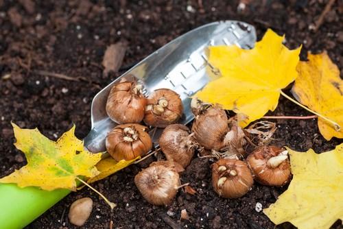 Посадка луковичных осенью наиболее желательное мероприятие во многих регионах нашей страны
