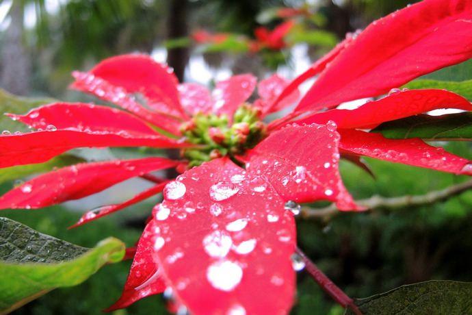 Поливы пуансеттии с весны до зимы осуществляются хорошо отстоянной тёплой водой по мере просыхания земляного кома в цветочном горшке