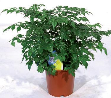Радермахера относится к роду растений из семейства Бигнониевые