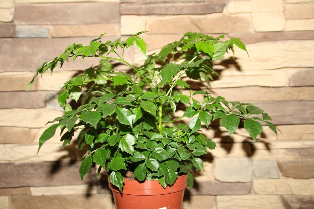 Радермахере необходимо обеспечить хорошую защиту от сквозняков, но свежий воздух растению очень важен