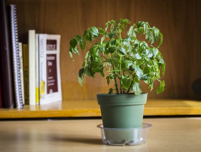 Для симметричного роста и развития очень полезно периодически переворачивать цветочный горшок с растением