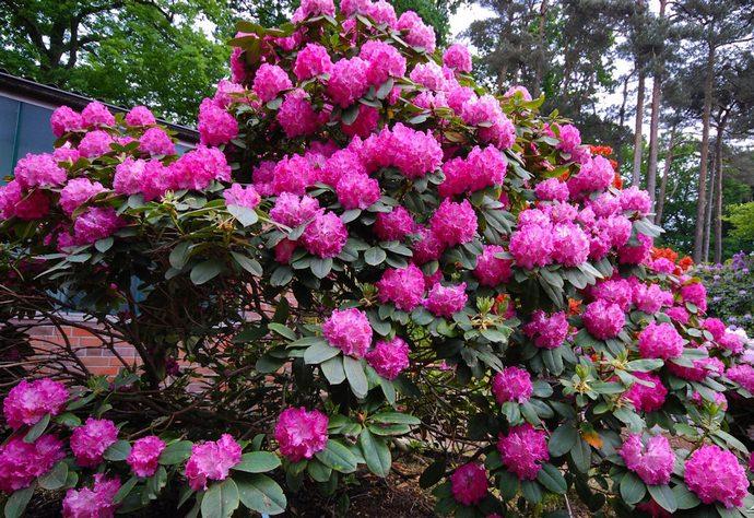 Рододендрон разрастается красивым кустом и цветет пышными, многочисленными цветами с разнообразными оттенками