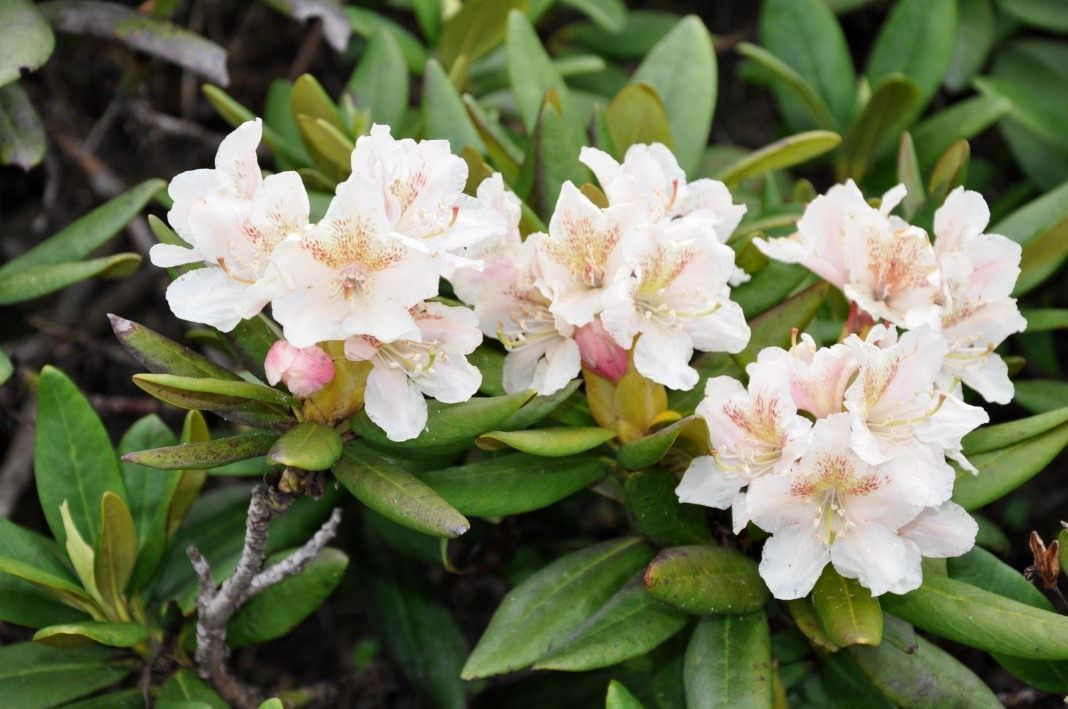 Рододендрон кавказский (Rhododendron caucаsicum)