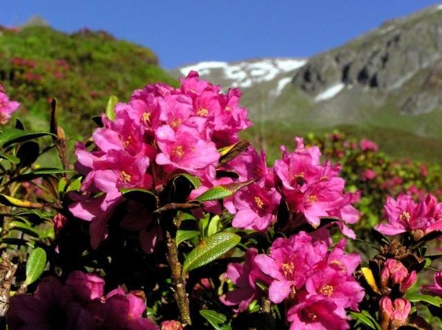 Рододендрон ржавый (Rhododendron ferrugíneum)