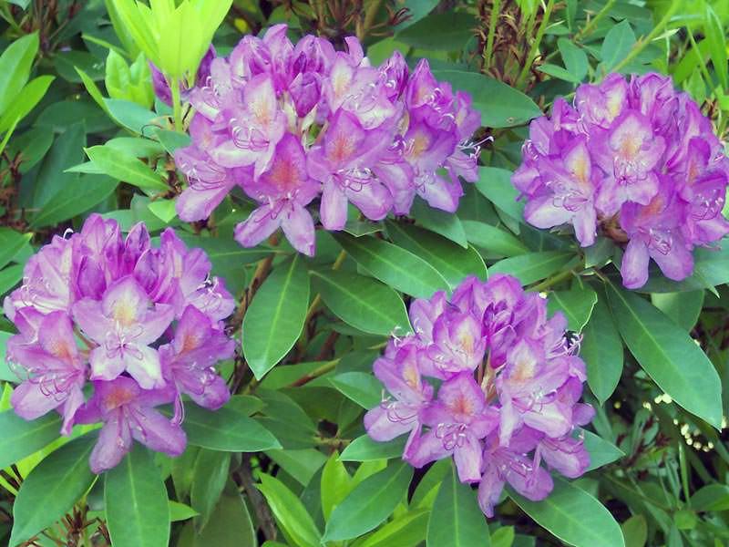 Рододендрон понтийский (Rhododendron pоnticum)