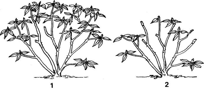 Все мероприятия по обрезке рододендрона нужно проводить перед началом роста