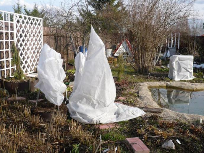 В наших широтах укрытие многолетнего рододендрона на зимовку является обязательным условием ухода
