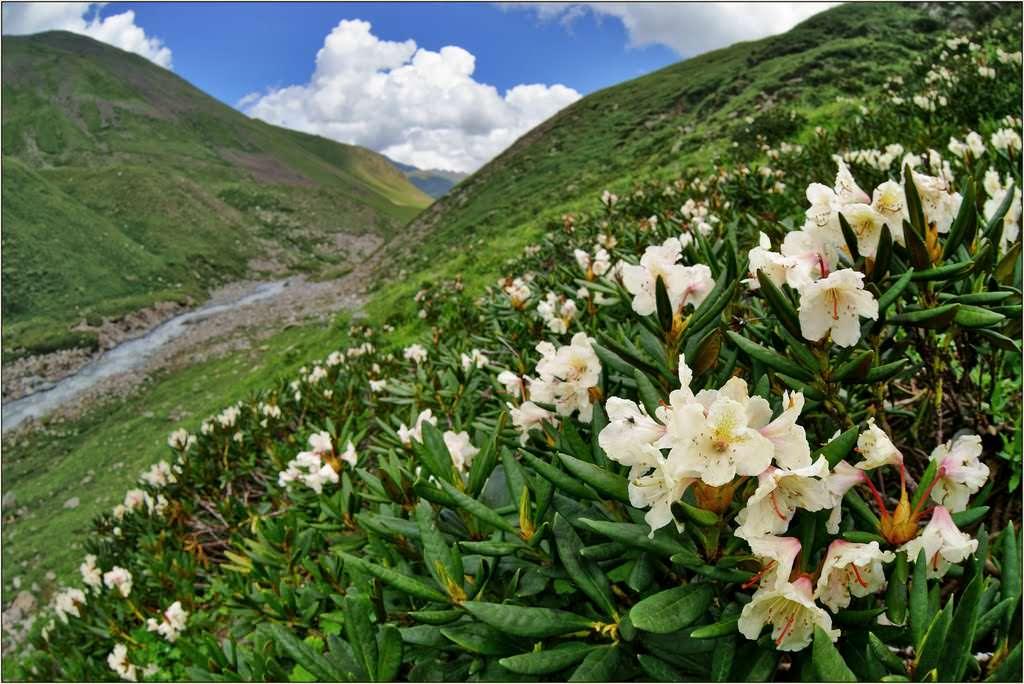 Рододендрон кавказский обитает исключительно в горных районах Кавказа
