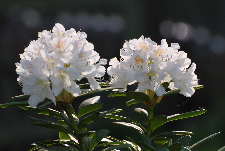 Листья и цветы рододендрона кавказского собирают, когда рододендрон зацветает
