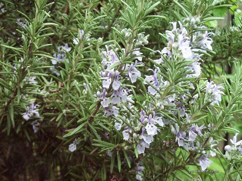 Во многих садах розмарин выращивается как декоративное и лекарственное растение, и как приправа