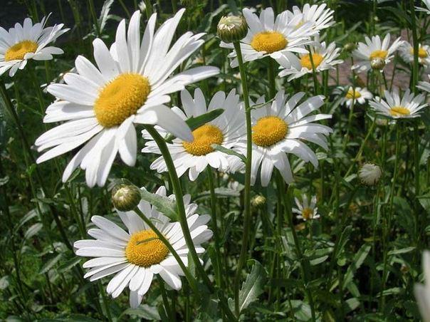 Садовая ромашка – растение очень неприхотливое