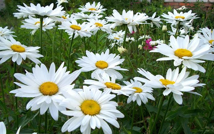 Нивяники большие и красивые, имеют один стебель с цветочной корзинкой