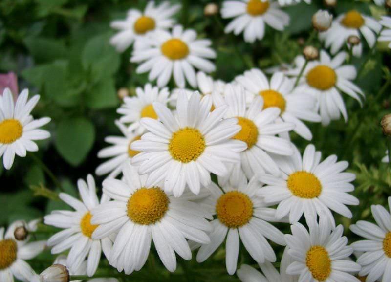 Цветет ромашка садовая продолжительное время