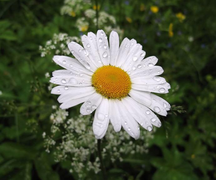 Ромашка садовая светолюбива, но способно прекрасно расти в полутени