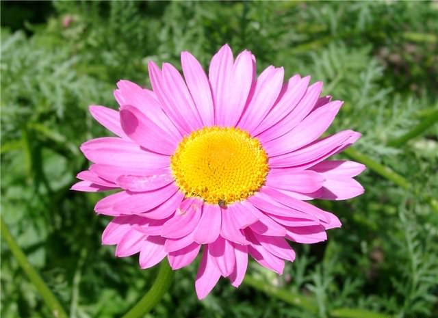 Розовая ромашка (пиретрум)