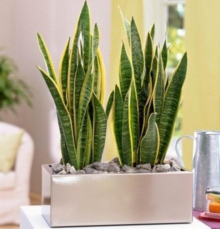 Сансевиерия — бесстеблевое вечнозеленое растение тропиков и субтропиков