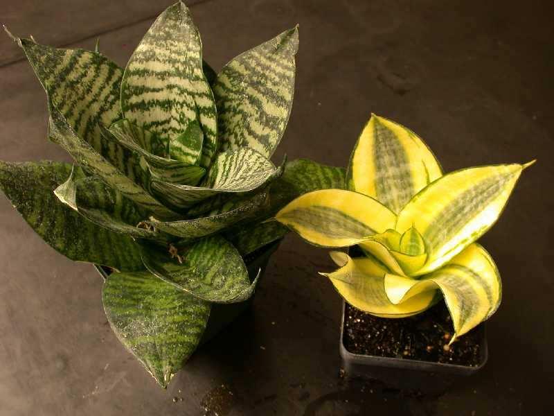 Сансевьера пестролистная – комнатное растение очень высокодекоративное и относительно нетребовательное