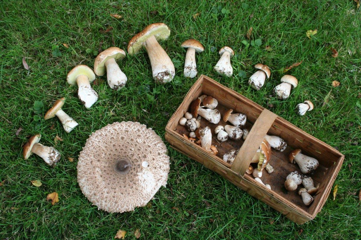 Начинающим грибникам можно посоветовать осуществлять сбор только трубчатых разновидностей, среди которых не существует смертельно опасных грибов