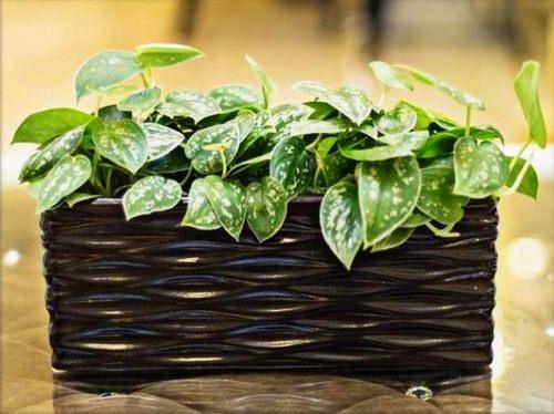 Домашний сциндапсус – лазающее растение, привлекающее своими овальными, блестящими листьями