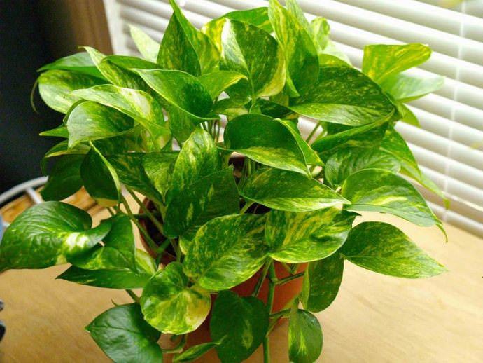 Вдовий плющ хорошо справляется с очисткой воздуха в помещении, где растет