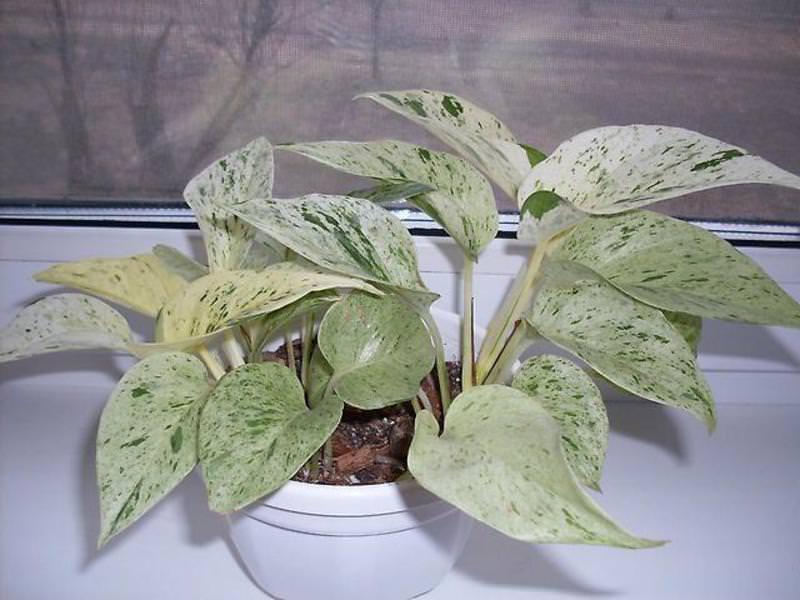 Сциндапсус не слишком капризное растение