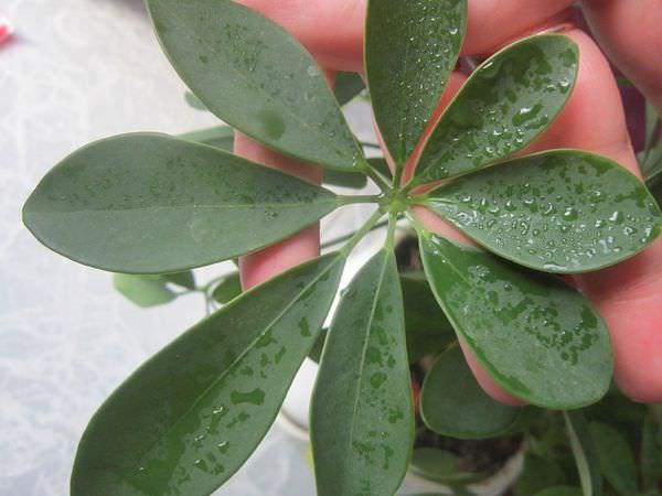 Листовое размножение шеффлеры в домашних условиях редко удаётся начинающим цветоводам
