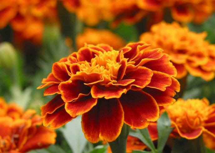 Бархатцы мелкоцветковые – невысокие однолетние растения