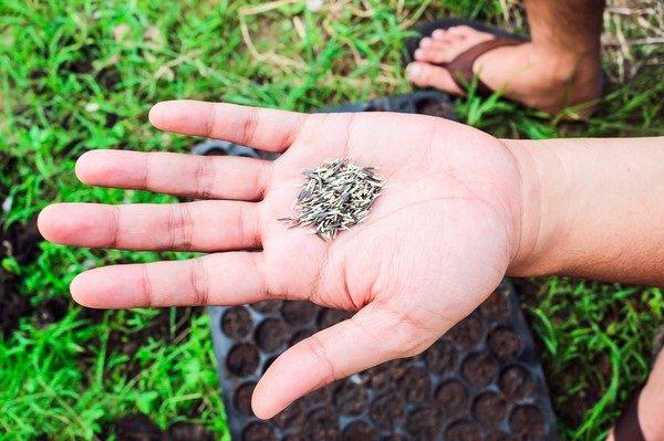 Посев семян чернобривцев на рассаду проводят в начале весны