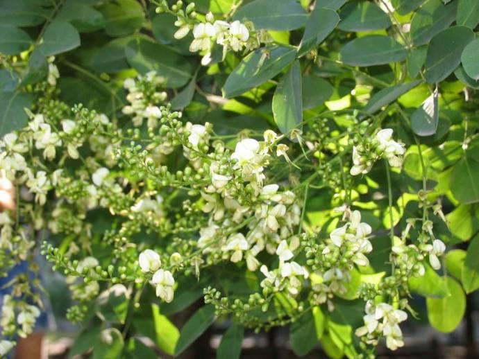 В растительном сырье софоры японской отмечено повышенное содержание количество алкалоидов