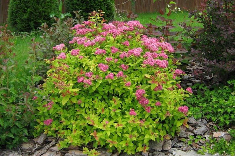 Спирея – оригинальное, выносливое и быстро растущее декоративное растение